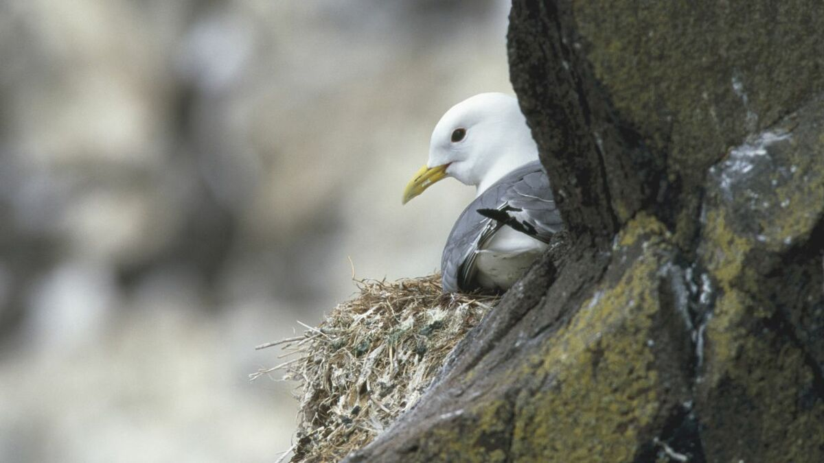 The RSPB says birds such as kittiwakes are already in decline and need greater protection