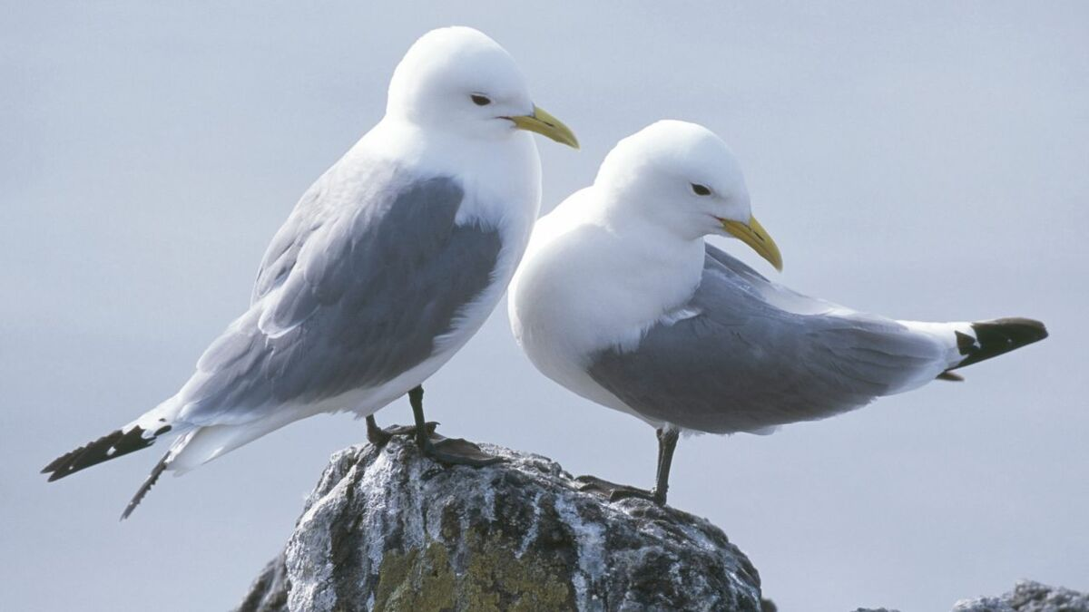 The RSPB believes Ørsted will struggle to prove that compensation it proposes for kittiwakes will actually work
