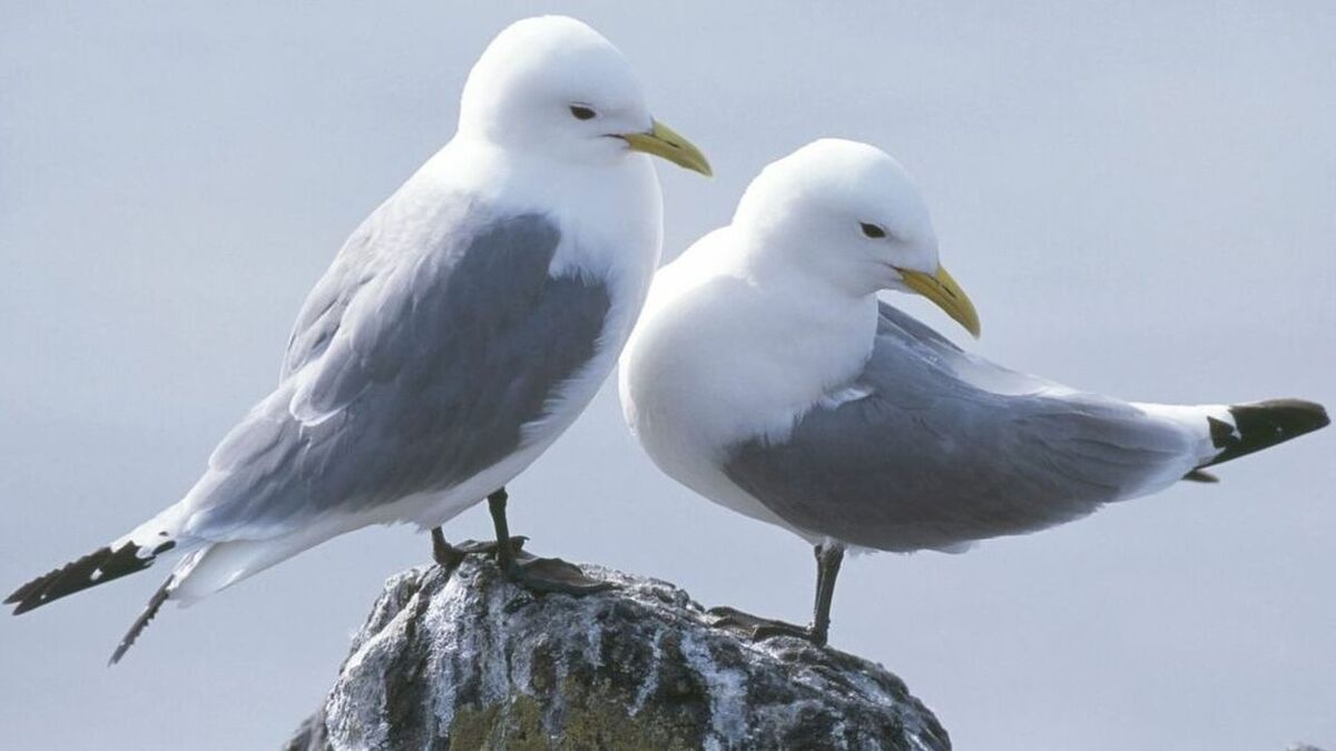 Approval for Hornsea Project Three was delayed as compensation measures for kittiwakes were sought and reviewed by the authorities